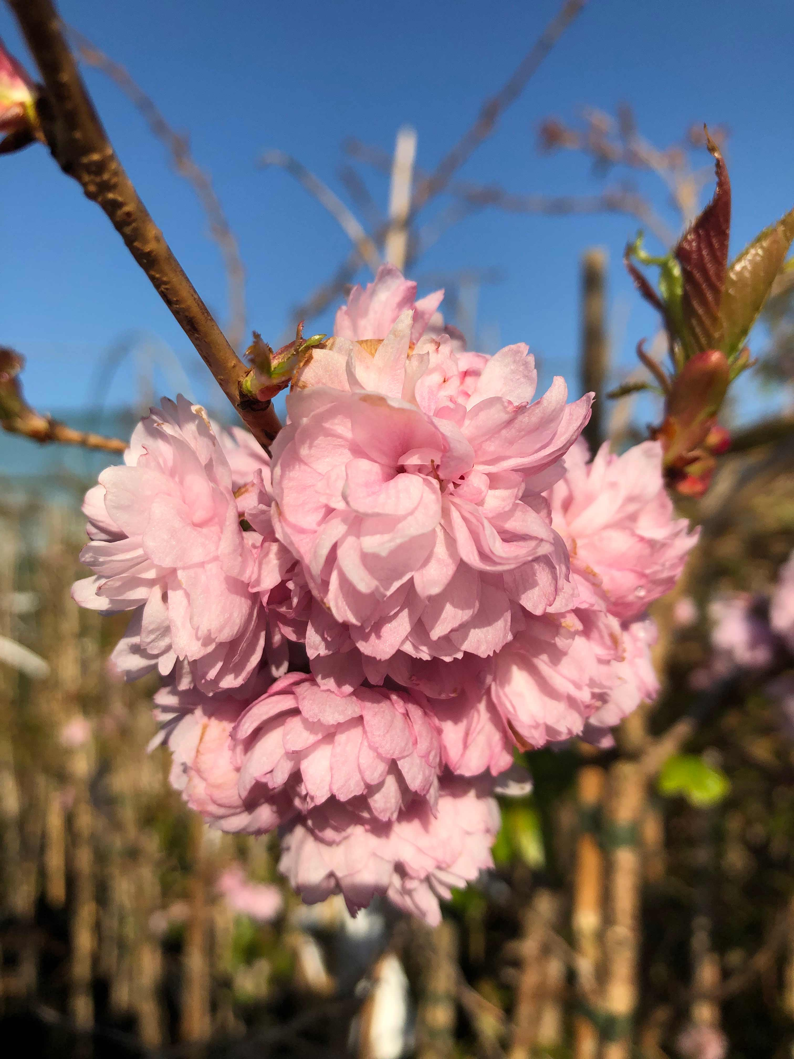 Flowering Cherries/Plums
